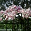 Orchids, Botanical Gardens, Singapore