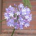 Agapanthus flower, Nelson