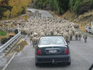 Lots of sheep on the road near Queenstown!