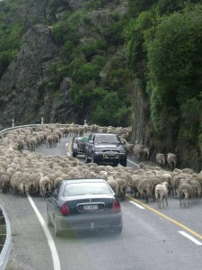More sheep outside of Queenstown