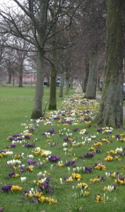 Leith Links crocuses, Edinburgh