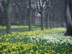 Victoria Park Daffodils, Edinburgh