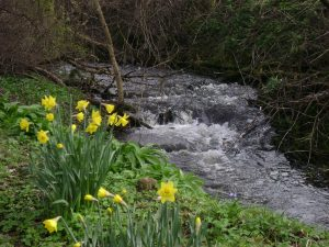Daffodils on the banks of Moulin Burn