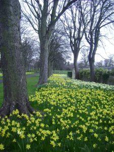 Victoria Park daffodils