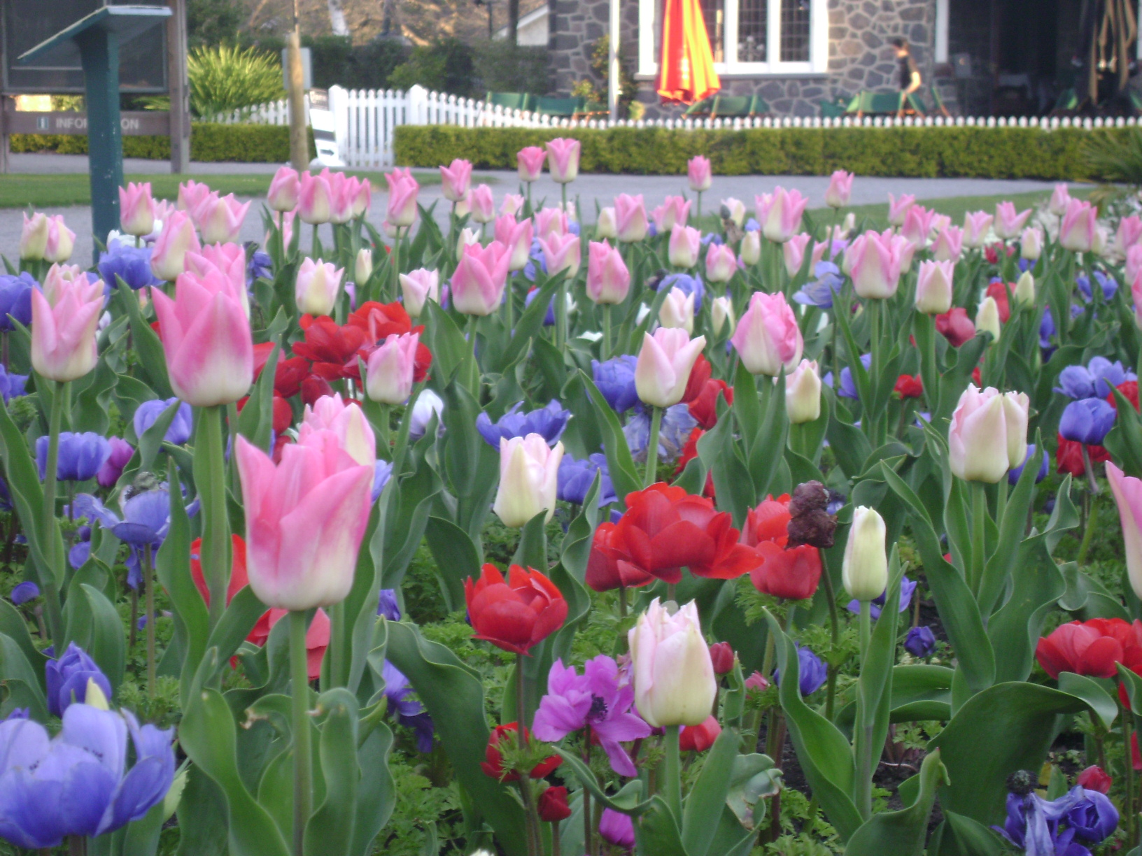 Tulips in Botanical Gardens, Christchurch