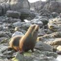 Seal colony, Kaikoura