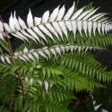 The illuminous silver fern